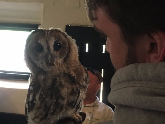 Cullompton, UK: Up close with Lottie the Tawny Owl