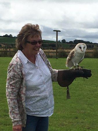 Cullompton, UK: Outdoors flying Barley the Barn Owl