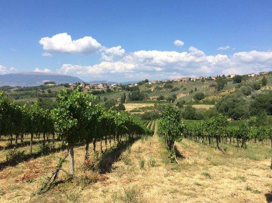Montefalco, Ιταλία: Le splendide vigne della cantina.