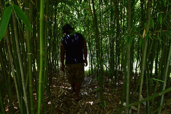 Hopland, Californien: Bamboo Grove