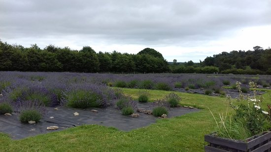 Inch, Irland: Fields of lavender.