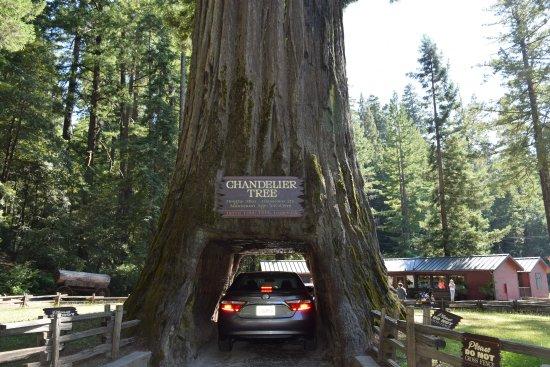 Leggett, Kalifornien: My car in the Tree
