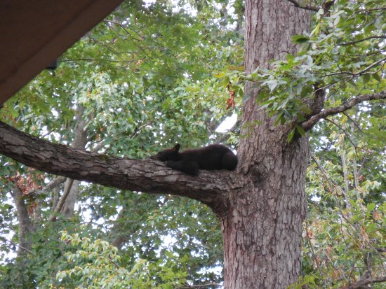 Quality Inn Creekside: Baby bear asleep in tree right outside our hotel room