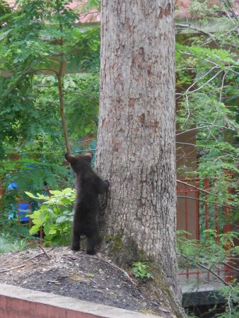 Quality Inn Creekside: Baby bear at the bottom of tree