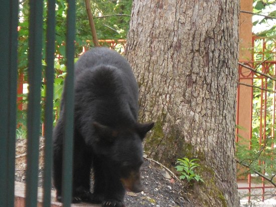 Quality Inn Creekside: Mama bear walking around just outside our room