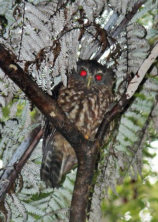 Tairua, New Zealand: A Morepork (owl) taken by a Harbour View Guest