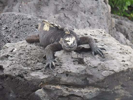 San Cristobal, Ecuador: iguana