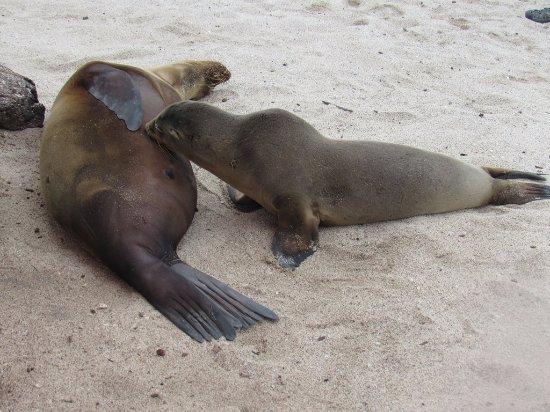 San Cristobal, Ecuador: seal