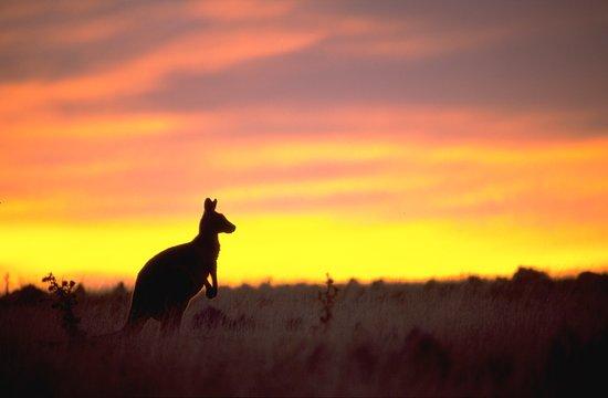 Maria Island, Australia: Eastern Grey Kangaroo