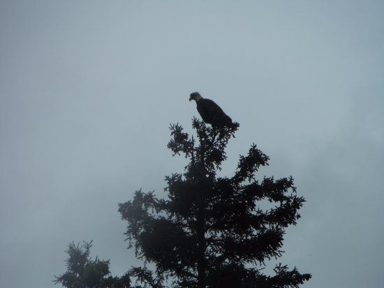 Cooper Landing, AK: Bald eagle