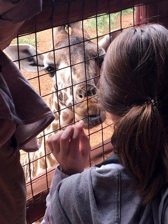 African Fund for Endangered Wildlife (Kenya) Ltd. - Giraffe Centre: from the observation platform, feeding a younger giraffe