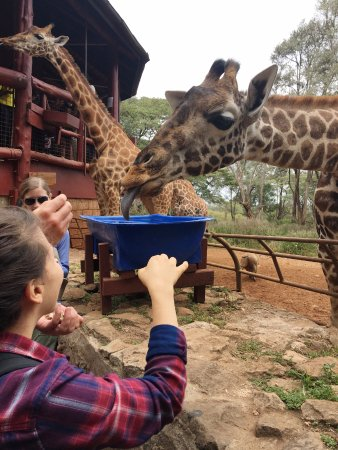 African Fund for Endangered Wildlife (Kenya) Ltd. - Giraffe Centre: ready for a kiss