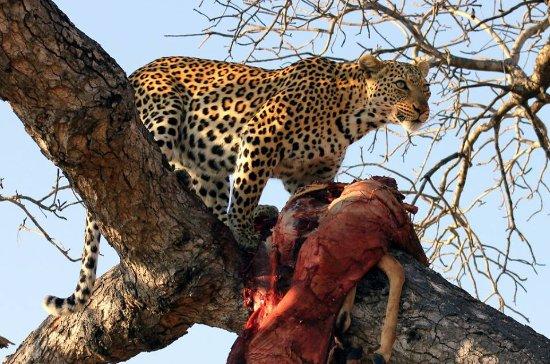 Arusha Region, Tanzania: Amaizing Leopard