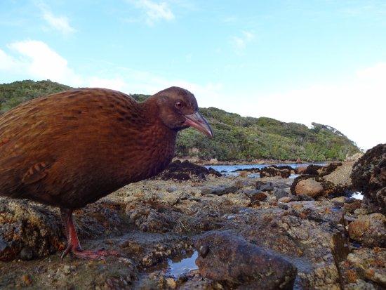 Stewart Island, New Zealand: Weka