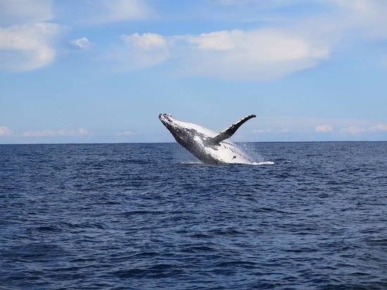 Nelson Bay, Australia: A very active whale, photo taken on a little Canon powershot snap happy camera.