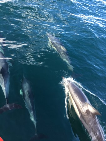 Nelson Bay, Avustralya: Dolphins that came to swim in front of the boat