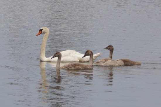 Howell, NJ: Swan family at the reservoir
