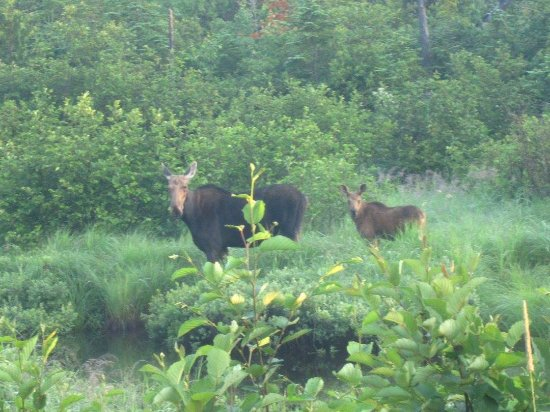Greenville, ME : Cow and Calf quite close to the truck.