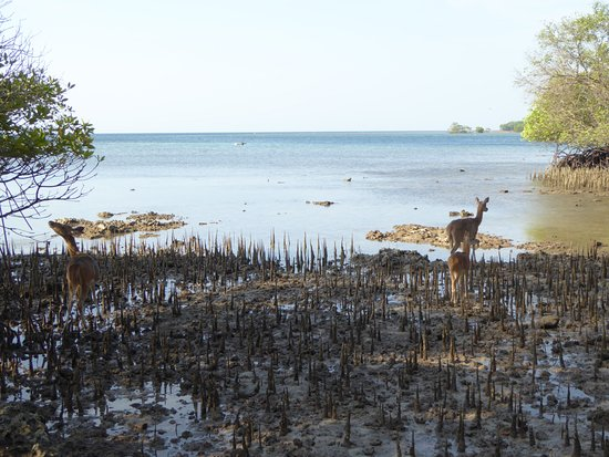 West Bali National Park, อินโดนีเซีย: Photo of the mangrove beach with deer
