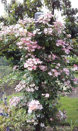 Poolewe, UK: INVEREWE ROSE JULY 2017