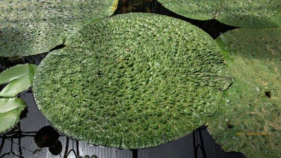 Centre-Val de Loire, Fransa: bassin de plantes type nénuphar