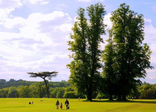 Watford, UK: cedar trees