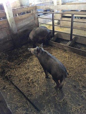 Viborg, Danemark : vildsvin til gillen til byfesten