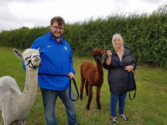 Huntingdon, UK: Alpaca Walking