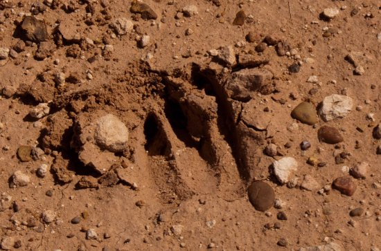 Portales, NM: Deer footprint on the trail