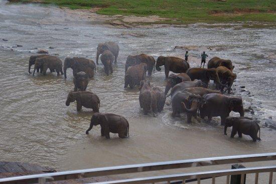Pinnawala, Sri Lanka : Слоны купаются в реке
