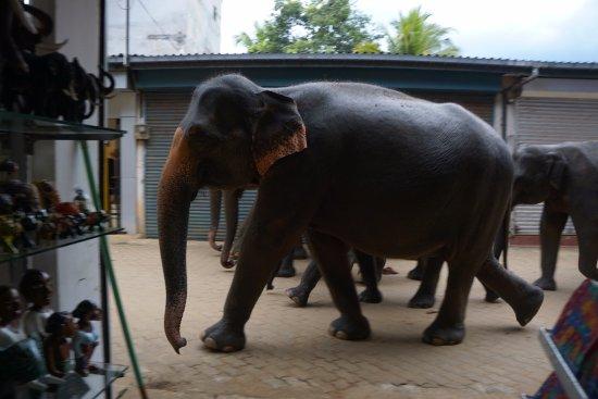 Pinnawala, Sri Lanka : Шествуют по сувенирному ряду