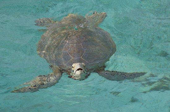 Lankayan Island Dive Resort: Sköldpadda utanför restaurangen