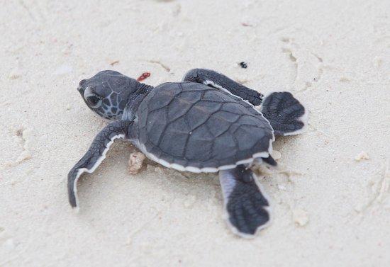 Lankayan Island Dive Resort: Nykläckt grön havssköldpadda