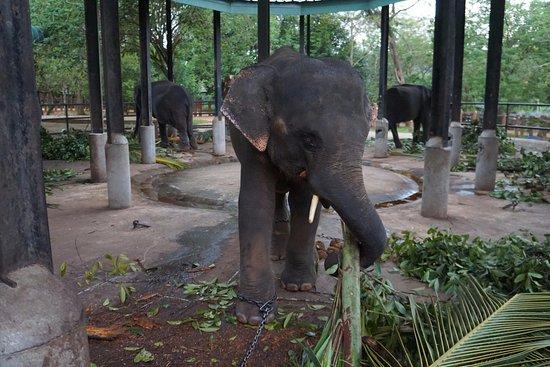 Pinnawala, Sri Lanka: Слоненок ломает пальму