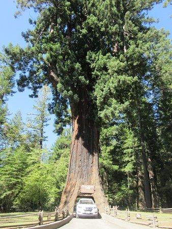 Leggett, Kalifornien: Med bil igennem træet