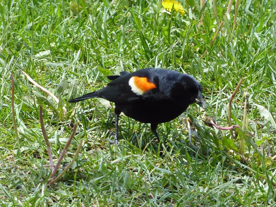 Montreal, Canadá: red winged blackbird