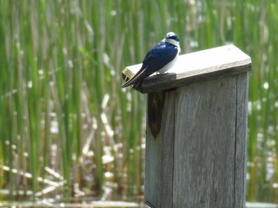 Montreal, Canadá: Tree swallow