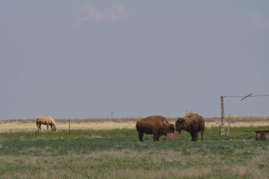 Canyon, Техас: Buffalo outside the National Wildlife Refuge