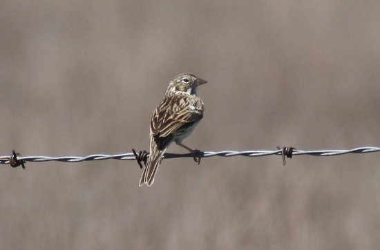 Canyon, Техас: Sparrow on barbed wire fence