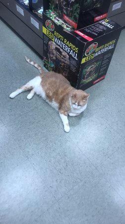 Wyomissing, PA: King Henry the resident cat at the pet store