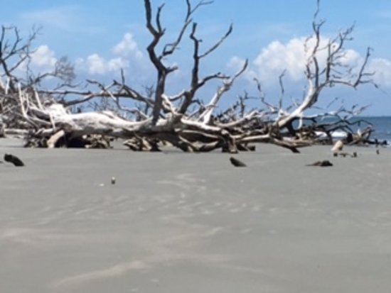 Hunting Island State Park: More trees at Driftwood Beach, Hunting Island