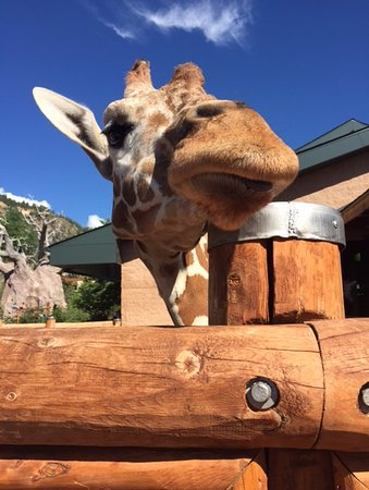 Cheyenne Mountain Zoo: Loved getting up close and feeding the Giraffes.