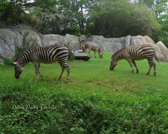 Zebra Picture Of North Carolina Zoo Asheboro Tripadvisor