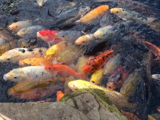 Naaldwijk, The Netherlands: Er zwemmen zo veel vissen ....