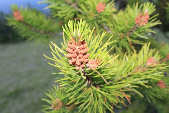 Bragg Creek, Canada : Pinecones..