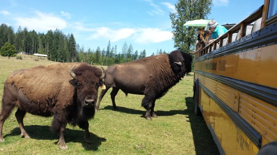 Nanaimo, Canada: Morning Star Bison Ranch