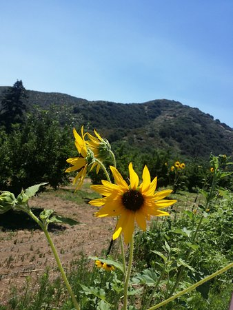 Oak Glen, CA: Wild flowers and a view of the San Bernardino Mtns.
