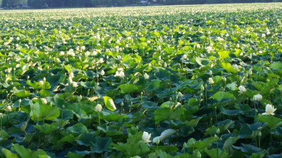 Middle Amana, IA : Lilly Lake in bloom