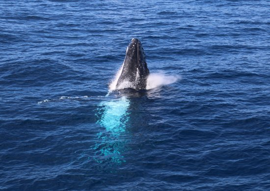 Redcliffe, Australia: Humpback just about to breach