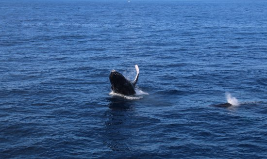 Redcliffe, Australia: Humpback giving a wave